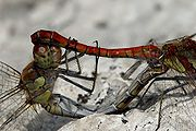 Common darter repro.jpg
