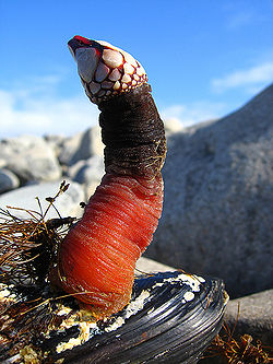 Goose Barnacle Anatomy