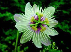 Passiflora foetida-a.jpg
