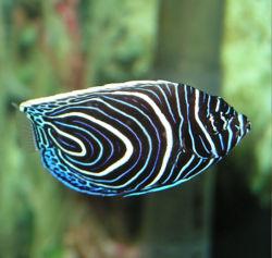 Angel fish.jpg