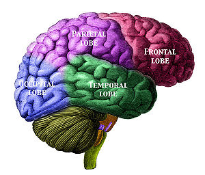 Lobes of the brain CreationWiki the encyclopedia of