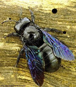 Carpenter bee 3.jpg