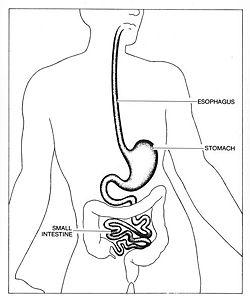 494px-Esophagus, stomach, small intestine.jpg