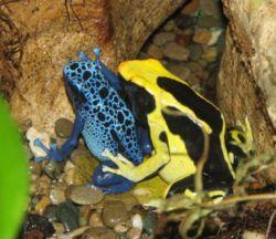 694px-Poison Dart Frogs.jpg