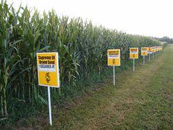 GMO corn field.jpg
