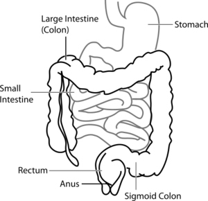 Intestine diagram.png