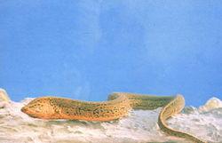 swamp eal Asian