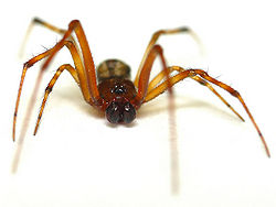 Common House Spider Main.jpg