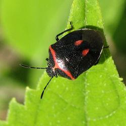 Hemiptera2.jpg