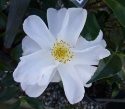 Camellia-1.png
