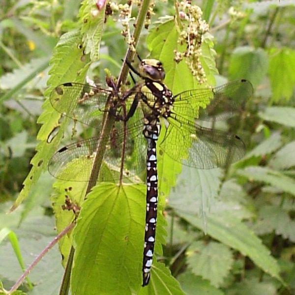 File:Dragonfly.jpg