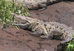 AmericanCrocodile.jpg