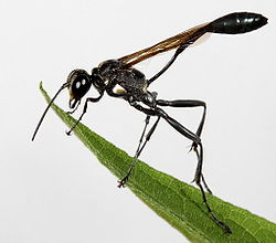 THE STICK INSECT CHEWS OFF A FEW MORE MALE HEADS 250px-Thread-waisted_Wasp