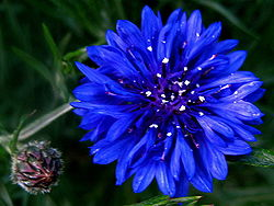 Cornflower2.jpg
