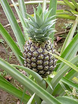 AnanasComosus.jpg