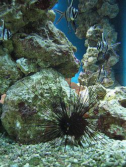 Long-spined sea urchin1.jpg