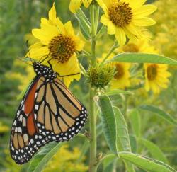Monarch butterfly on sunflower.jpg