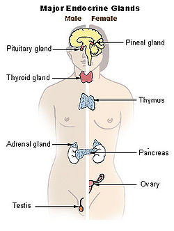 Thyroid creationwiki the encyclopedia of creation science illu endocrine systemg ccuart Choice Image