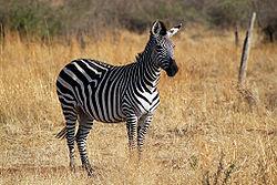 Plains Zebra Main Picture.jpg