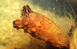 Tunicate urochordata.jpg