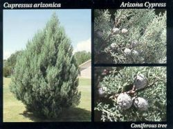 Arizona Cypress.JPG