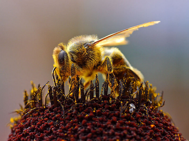 File:Bee Collecting Pollen.jpg