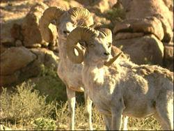 Two Rams.jpg