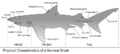 Anatomy of a shark.png