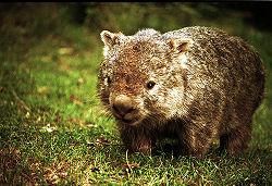 Enigmatic Wombat.jpg