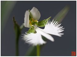 White egret flower creationwiki the encyclopedia of creation science white egret flower growing in the orchid mightylinksfo
