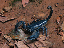 H Spinifer Scorpions Giant forest scorpion ...