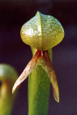 California pitcher plant 3.jpg