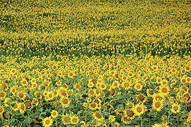 Sunflower12.jpg