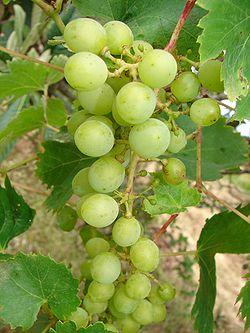 Vitis Grapes.jpg