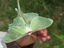 Large Luna Moth.jpg