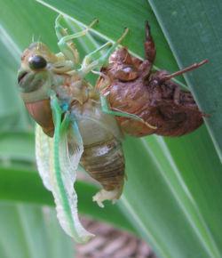 Cicada undergoing metamorphosis.jpg