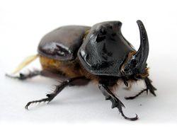 Rhinoceros beetle.jpg