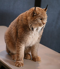 Candian Lynx.jpg