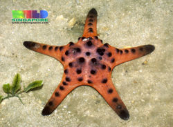 Starfish - CreationWiki, the encyclopedia of creation science