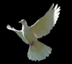 White dove.jpg