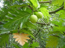 Artocarpus altilis.jpg