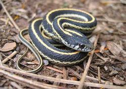 Western terrestrial garter snake juvie.jpg