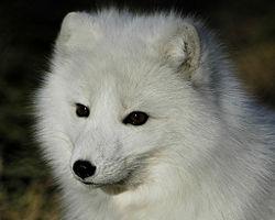 Arctic fox 1.jpg
