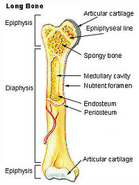Anatomy of a long bone.
