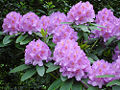 Purple rhododendron.jpg