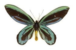 Ornithoptera alexandrae male.jpg