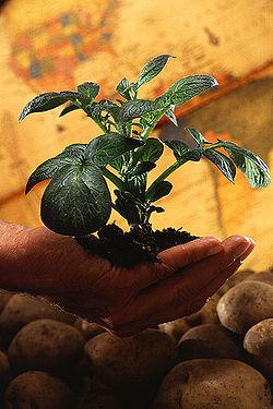 400px-Potato plant.jpg
