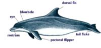 Bottlenose dolphin anatomy