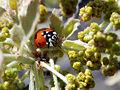 Ladybug on oak.jpg