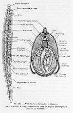 Illustration of a Lancelet&#39;s anatomy